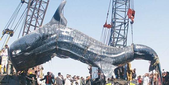 whale-shark -charai fishery- karachi