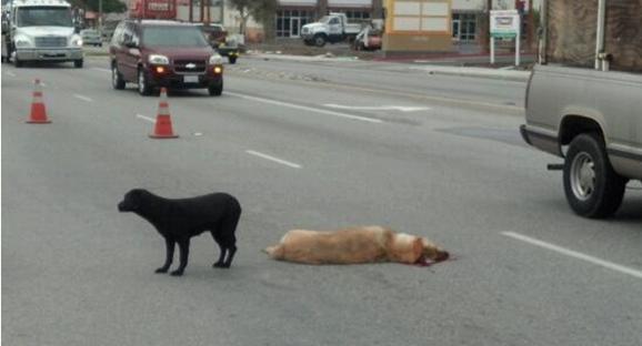La perra labrador Gracia protege a su amigo en hora punta de tráfico