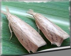 Broca da cana-de-açúcar, Diatraea saccharalis (Fabricius, 1794)