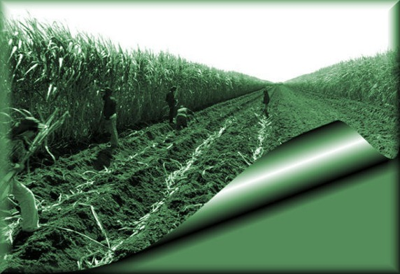 colheita da cana-de-açúcar2