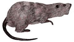 Ratas «gigantes» poblaron Canarias hace 2.000 años