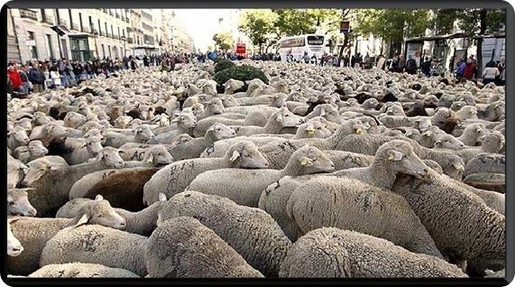 Un rebaño de 2.000 ovejas extremeñas atraviesa el centro de Madrid