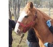 Comenzó el chipeado de equinos en Ushuaia