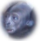 cría_gorila_biopark_valencia