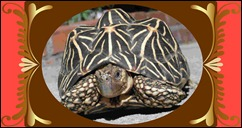 Indian-star-shaped-tortoise1
