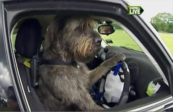 Perros aprenden a conducir coche en Nueva Zelanda
