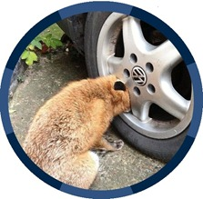 Fox found with head stuck in car wheel