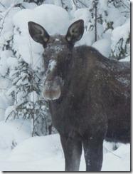alce - sjungande dalen - skellefteå - foto stefan holmberg