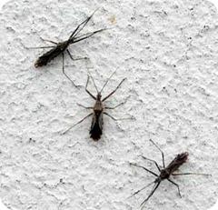 parecidos a mosquitos pero más grandes  - no son tipúlidos