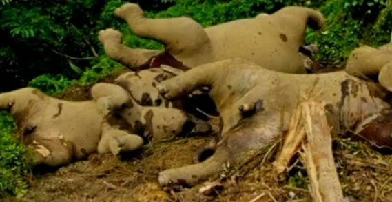 endangered_pygmy_elephants_die_from_suspected_poisoning