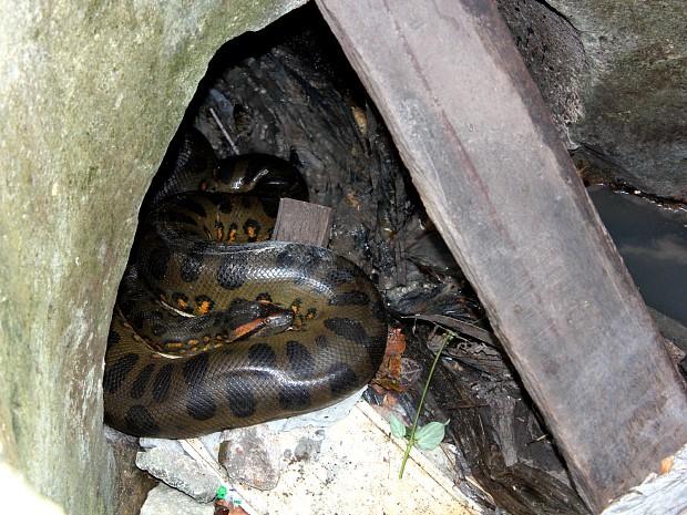 Sucuri de três metros é encontrada dentro de bueiro, em Manaus (Foto Tiago Melo G1 AM)