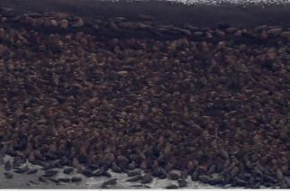 10 000 morsas buscan refugio en Point Lay