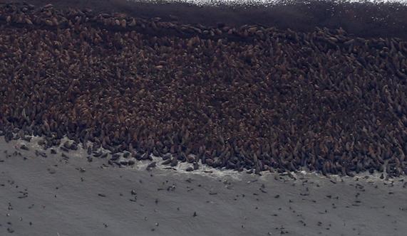 10000_Walrus_Converge_On_Alaskan_Beach_As_Arctic_Sea_Ice_Declines-2