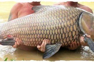 Carpa de 61 quilos é pescada na Tailândia