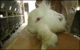 Conejo_desolllado_(despellejado)_vivo_en_China-