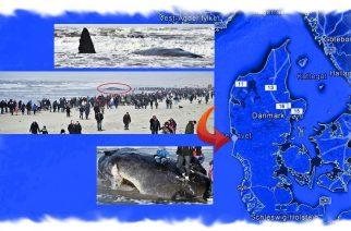 Ballenas varadas en Dinamarca serán disecadas