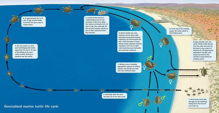 Marine_turtle_breeding_cycle_-_Shark_Bay