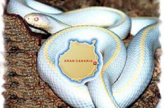 Serpiente rey albina invade Gran Canaria