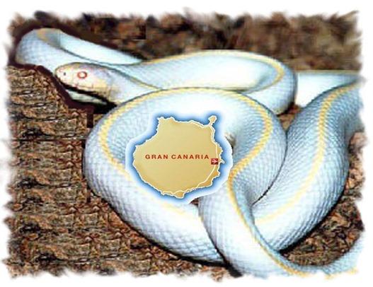 Lampropeltis getulus californiae (Serpiente Rey de California)