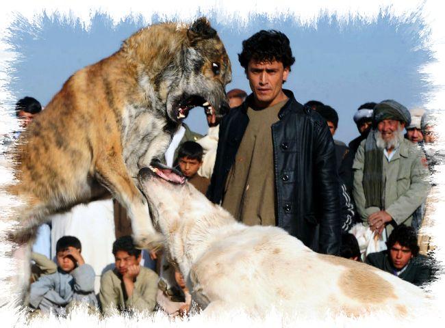 LUCHA DE PERRROS - Afganistán - AFP