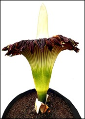 Visitors look at a Titan Arum flower at Basel's Botanical Garden
