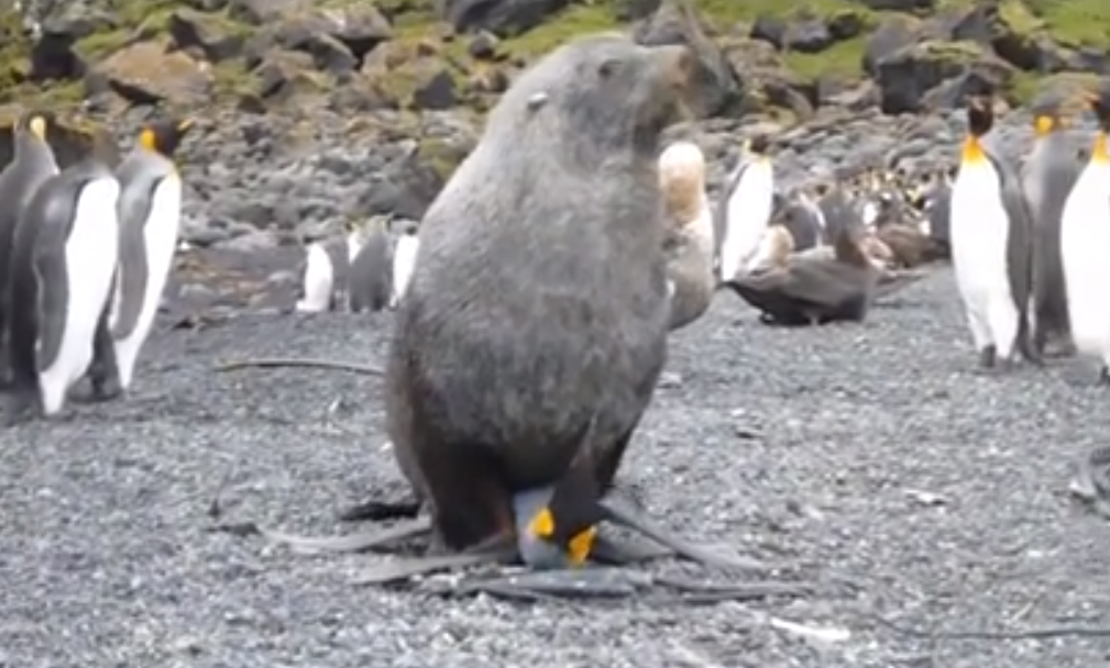 lobo marino antártico intentando follar - violar a un pingüino o 'una pingüina'...