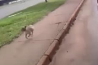 Perro corre 2 km tras una ambulancia para no separarse de su dueño en Taguatinga (DF)