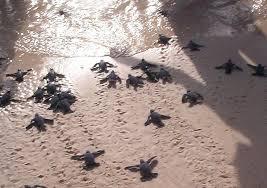 tortugas - - - aruba