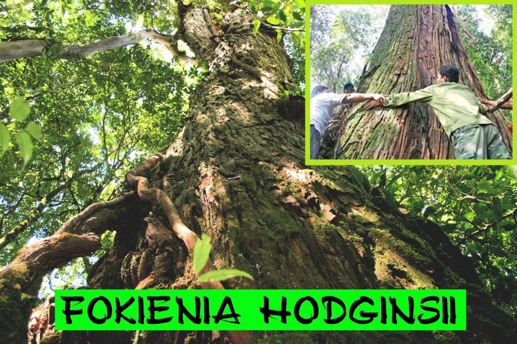 Fokienia tree  - Bidoup Nui Ba National Park - Vietnam
