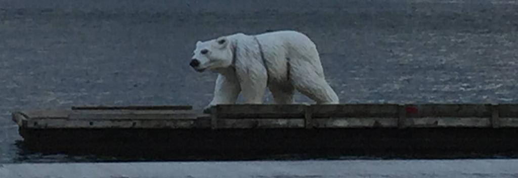 isbjörn_klippan_Gbg