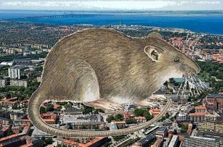 Las ratas avanzan en Malmö