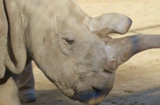 Rinoceronte blanco del norte: solo quedan 3 ejemplares