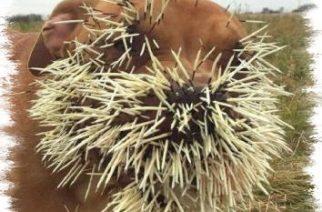 Perros sobreviven brutal pelea con puercoespín en Saskatchewan