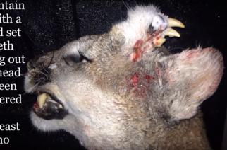 Cazan puma con muchos dientes en Idaho…