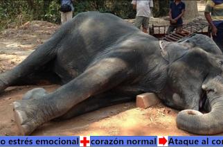 Murió la elefanta Sambo de paro cardíaco, obligada a cargar turistas en temperaturas extremas
