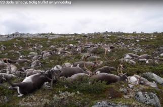 Un rayo mata más de 300 renos en Noruega