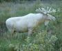 Se salva el alce blanco en Värmland