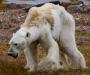 La dramática imagen de un oso polar moribundo