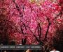 Cerezos en flor en China, Japón, Corea del Sur y Taiwán – enlaces