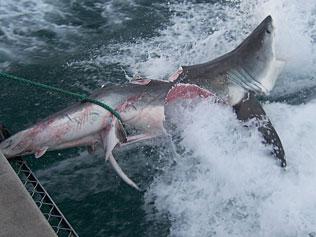 Tiburón blanco comido por otro tiburón blanco...