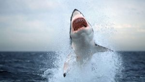 Great White Sharks, like this one off the coast of South Africa, have been spotted off the coast of Cape Cod. Fallows/AP - www.nydailynews.com/
