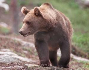 La población de osos aumenta