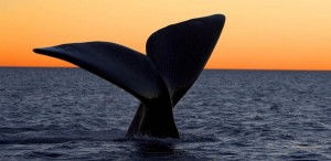 Avistaje de ballenas en Puerto Madryn, Argentina