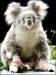 Sam-the-koala-signs-up-a-manager-6519310
