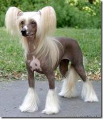 perro-crestado-de-china