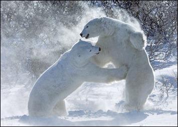 polar-bea