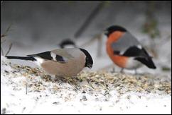 vinterfåglar3