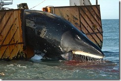 whale-caught-