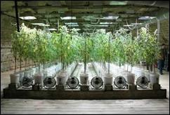 cultivo-de-marihuana