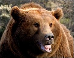 oso brunbjörn